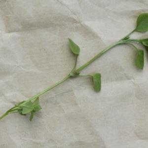 Photographie n°2183254 du taxon Stellaria media (L.) Vill. [1789]