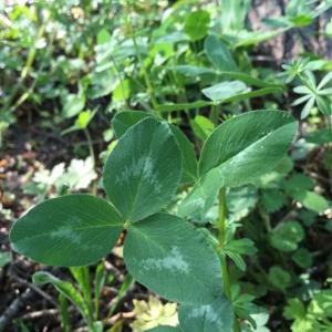 Photographie n°2183296 du taxon Trifolium pratense L. [1753]