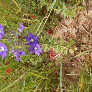 Photographie n°2183369 du taxon Legousia speculum-veneris (L.) Chaix