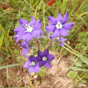 Photographie n°2183370 du taxon Legousia speculum-veneris (L.) Chaix
