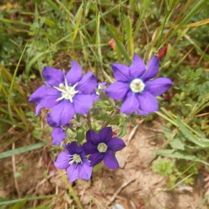 Photographie n°2183371 du taxon Legousia speculum-veneris (L.) Chaix