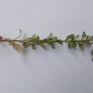 Photographie n°2183372 du taxon Legousia speculum-veneris (L.) Chaix