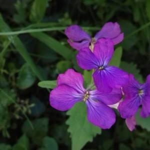 Photographie n°2183587 du taxon Lunaria annua L. [1753]