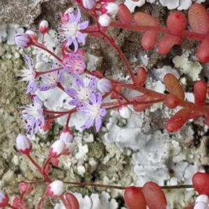 Photographie n°2183902 du taxon Sedum caeruleum L. [1771]