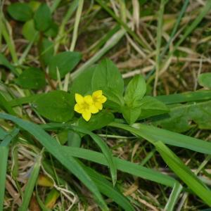 Photographie n°2183934 du taxon Lysimachia nemorum L.