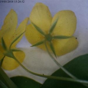 Photographie n°2183939 du taxon Lysimachia nemorum L.