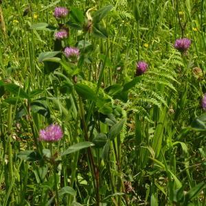 Photographie n°2183947 du taxon Trifolium pratense L. [1753]