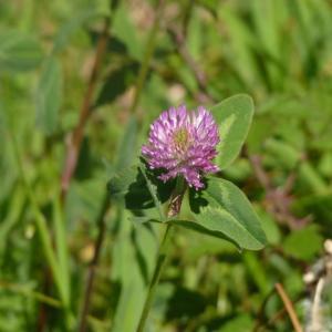 Photographie n°2183950 du taxon Trifolium pratense L. [1753]
