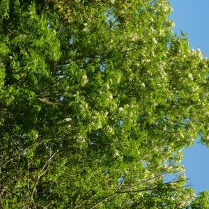Photographie n°2183959 du taxon Robinia pseudoacacia L.
