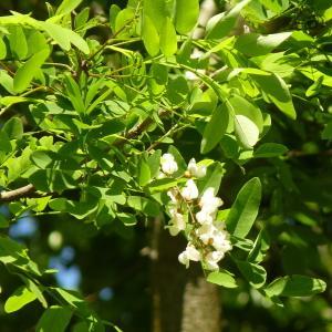 Photographie n°2183960 du taxon Robinia pseudoacacia L.