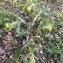 Senecio vulgaris L. [nn63096] par coline.hernandez@... le 23/03/2018 - Grenoble