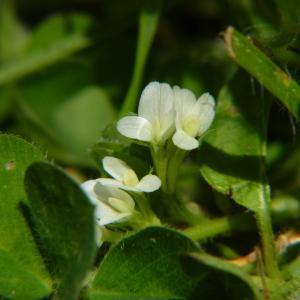 Photographie n°2184087 du taxon Trifolium subterraneum L. [1753]