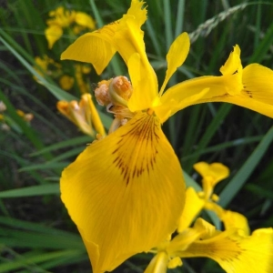 Photographie n°2184202 du taxon Iris pseudacorus L. [1753]