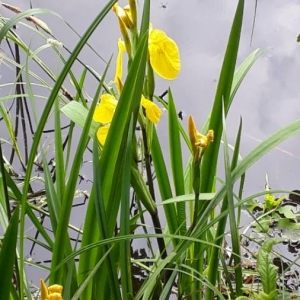 Photographie n°2184437 du taxon Iris pseudacorus L. [1753]