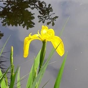 Photographie n°2184438 du taxon Iris pseudacorus L. [1753]