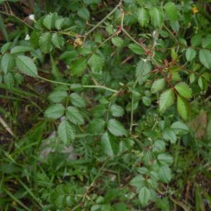 Photographie n°2184900 du taxon Rosa L. [1753]