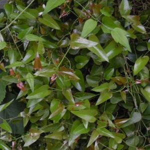 Photographie n°2185107 du taxon Smilax aspera L. [1753]