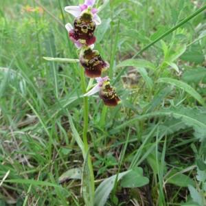 Photographie n°2185236 du taxon Ophrys fuciflora (F.W.Schmidt) Moench [1802]