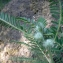 Liliane Roubaudi - Astragalus alopecuroides subsp. alopecuroides