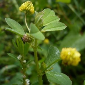 Photographie n°2185397 du taxon Trifolium campestre Schreb. [1804]