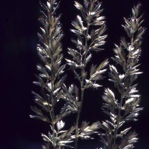 Photographie n°2185434 du taxon Koeleria pyramidata (Lam.) P.Beauv. [1812]
