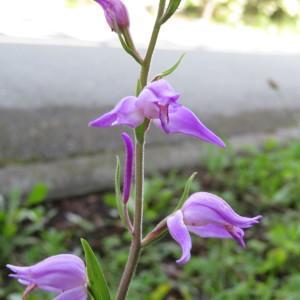 Photographie n°2185710 du taxon Cephalanthera rubra (L.) Rich. [1817]