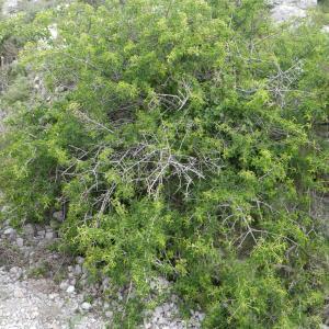 Photographie n°2185757 du taxon Prunus mahaleb L.