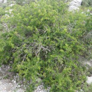 Photographie n°2185761 du taxon Prunus mahaleb L.