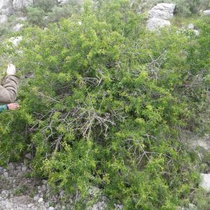 Photographie n°2185763 du taxon Prunus mahaleb L.