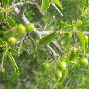 Photographie n°2185767 du taxon Prunus mahaleb L.