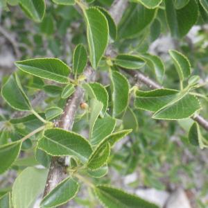 Photographie n°2185770 du taxon Prunus mahaleb L.