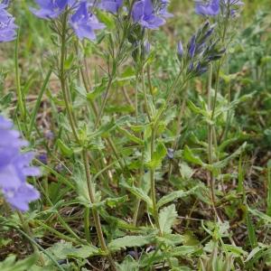 Photographie n°2186134 du taxon Veronica austriaca L.