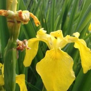 Photographie n°2186245 du taxon Iris pseudacorus L. [1753]