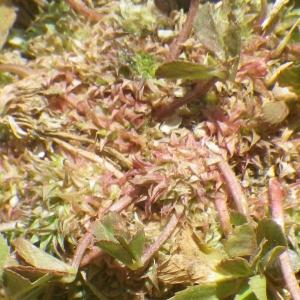 Trifolium suffocatum L. (Trèfle étranglé)