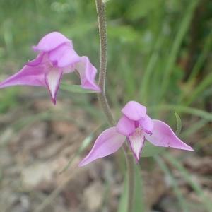 Photographie n°2186625 du taxon Cephalanthera rubra (L.) Rich. [1817]