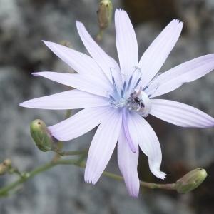 Photographie n°2186702 du taxon Lactuca perennis L.