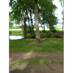 Poa kitaibelii Kunth (Pâturin des marais)