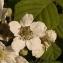 Claude Viquesnel - Rubus L.