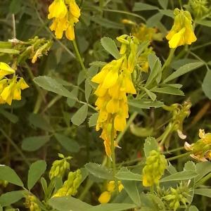 Photographie n°2187178 du taxon Trigonella officinalis (L.) Coulot & Rabaute [2013]