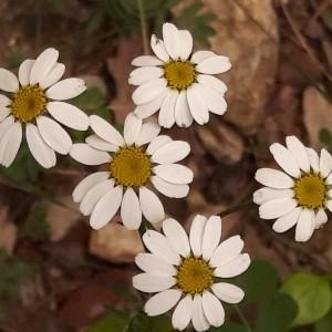 Photographie n°2187187 du taxon Tanacetum corymbosum (L.) Sch.Bip. [1844]