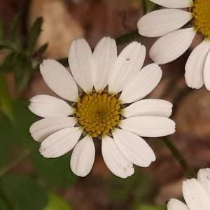 Photographie n°2187188 du taxon Tanacetum corymbosum (L.) Sch.Bip. [1844]