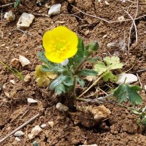 Photographie n°2187255 du taxon Ranunculus bulbosus L. [1753]
