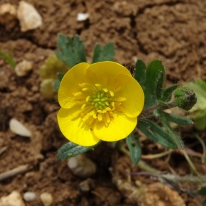 Photographie n°2187256 du taxon Ranunculus bulbosus L. [1753]