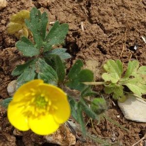 Photographie n°2187257 du taxon Ranunculus bulbosus L. [1753]