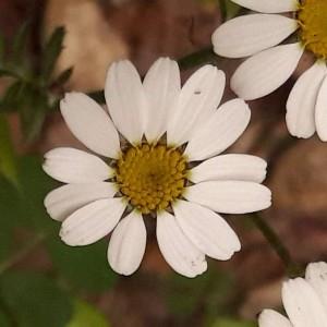 Photographie n°2187605 du taxon Tanacetum corymbosum (L.) Sch.Bip. [1844]