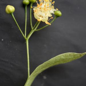 Photographie n°2187673 du taxon Tilia platyphyllos Scop. [1771]