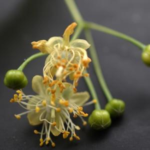 Photographie n°2187675 du taxon Tilia platyphyllos Scop. [1771]