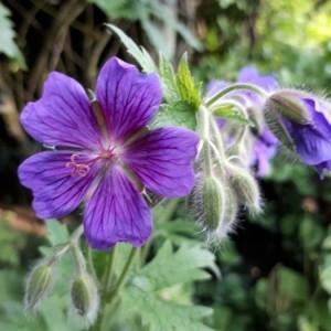 - Geranium ibericum Cav.