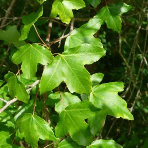 Photographie n°2187967 du taxon Acer monspessulanum L. [1753]