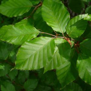 Photographie n°2187968 du taxon Fagus sylvatica L.